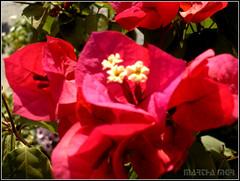 Bouganville (Martha MGR) Tags: red flores nature natureza flor vermelho vernissage iloveit bouganville blueribbonwinner mmgr theperfectphotographer floresbugambiliasveraneras wonderfulworldofflowers rubyphotographer mimamorflowers auniverseofflowers goldenmasterpiece marthamgr reservaespecial 4msphotographicdream 3msroyalflowers 2msroyalstation marthamariagrabnerraymundo marthamgraymundo