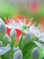 Leek with bokeh (tanakawho) Tags: red white plant flower macro green nature water rain dof bokeh drop pistil rainy stamen bud leek raindrop naturesfinest impatienswalleriana abigfave tanakawho brillianteyejewel karmanominated済)