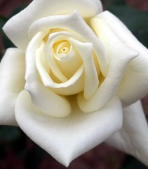 Subtle white... (maya_dragonfly) Tags: plant flower macro nature rose garden whiteflower olympus botany whiterose helluva masterphotos summer08 wonderfulworldmix macroflowerslovers naturescreations mindigtopponalwaysontop
