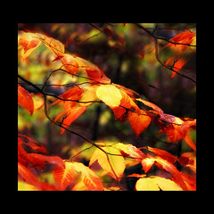 ~ forest fire (Anne Strickland) Tags: autumn fall forest automne square fire vermont forestfire bec fort feu splendid xoxoxoxoxoxo ~amabile~