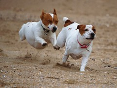 JRT Flying (JRT ) Tags: wallpaper dog holiday beach fur jack nose scotland flying jump eyes sand nikon jrt niceshot russell cloudy tail ears sally terrier jackrussell belle paws collar jackrussellterrier flydog d40 thegalaxy dogjumping brownhead mygearandmepremium mygearandmebronze mygearandmesilver mygearandmegold