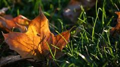 Glow (merobson) Tags: autumn fall leaf gmt fiatlux flickrsbest golddragon overtheexcellence