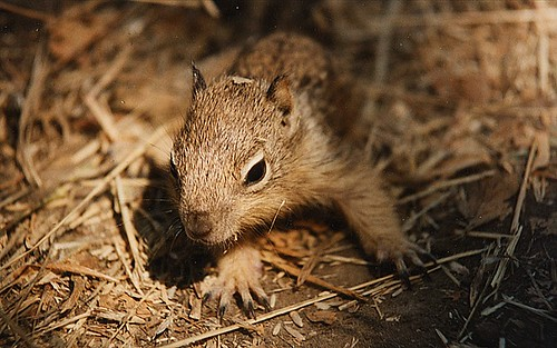 ground squirrel1
