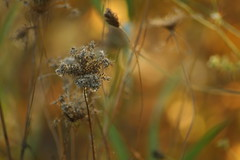 Weeds (Sharon's Shotz) Tags: autumn brown colour green fall gold interestingness weeds colours bokeh explore soe shieldofexcellence anawesomeshot i500october182008469