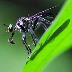 Robberfly, Pierce Reservior, Singapore (Macro) (InSectHunter) Tags: motion macro canon singapore dynamic micro arthropod