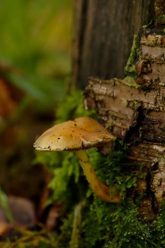 Onbekend zwammetje - unknown fungus