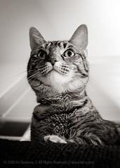 Not looking at me. (kit) Tags: bw cat feline flash sb600 highcontrast kitteh animalkingdom strobe aaw activeassignmentweekly bestofweek1 bestofweek2 bestofweek3 bestofweek4 bestofweek5 strobist kitsweeney
