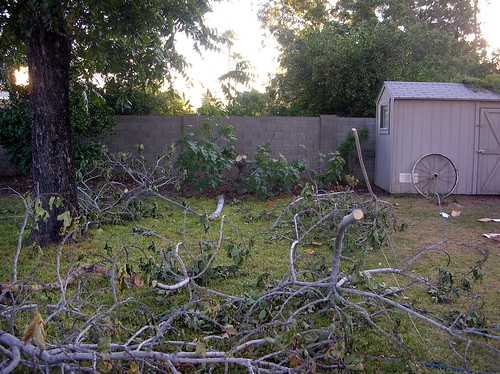 Fig tree - cut down