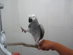 IMG_0255 (shanlung) Tags: bird home hail shower grey al bath african parrot congo kc oman muscat shanlung 1008 riamfada