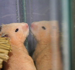 fritz meets fritz! day #26 (tetracolor) Tags: pet pets reflection cute glass animal animals mammal rodent sweet adorable double whiskers whisker hamster creatures creature mammals rodents hamsters irresistable