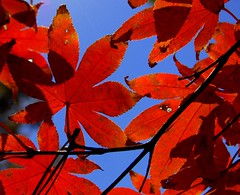 Curtain Call (T i s d a l e) Tags: november autumn red tree fall nature crimson leaves farm finalbow redmaple curtaincall northcarolinanorth tisdale53 scarletsunday