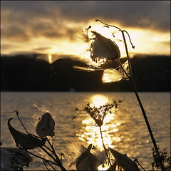Milkweed Bokeh Sunrise (NaPix -- (Time out)) Tags: lake sunrise landscape bokeh group explore vision sillouette milkweed lakescape firstquality explored hbw napix