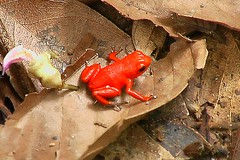Oophaga pumilio (Strawberry Poison-dart Frog) (Arthur Chapman) Tags: frogs panama bocasdeltoro dendrobates dendrobatespumilio anura amphibia pumilio strawberrypoisondartfrog oophaga oophagapumilio islasolarte taxonomy:class=amphibia taxonomy:order=anura taxonomy:kingdom=animalia taxonomy:phylum=chordata geocode:accuracy=200meters geocode:method=googleearth geo:country=panama taxonomy:common=strawberrypoisondartfrog taxonomy:binomial=oophagapumilio taxonomy:genus=oophaga