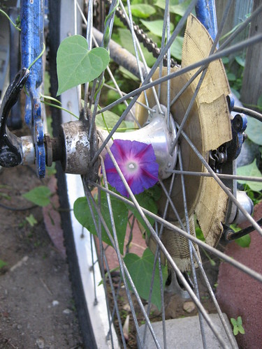 Moring Glories growing through the rear wheel of a bike.