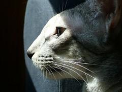 scout n saugatuck (charlie3engineer) Tags: cat orientalshorthair whiskers