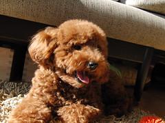 (Yasuhiko Ito) Tags: red dog cute toy chocolate ito poodle kawaii   toypoodle  takamori     yasuhiko    chocorat