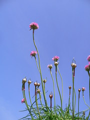"""Armeria marittima"" (Sea pink) (Luigi Strano) Tags: flowers flores nature fleurs flor blumen fiori blommor bungabunga maua bloemen blomster bulaklak hoa flors iekler  millefiori flori  kvtiny  geles lule virgok blom kukat fior cvijee lilled blomme viragok   ziedi   auniverseofflowers awesomeblossoms kbetki kuety"