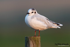 Little Gull, Hydrocoloeus minutus (Nigel Blake, 2 million views Thankyou!) Tags: winter little gull larus plumage minutus formally vosplusbellesphotos hydrocoloeus