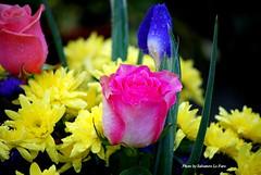 Fantasia di colori.  DSC_0491.A (Salvatore Lo Faro) Tags: flowers verde nature milano rosa natura giallo fiori bl nikond40x
