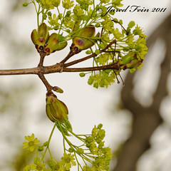 Spring Growth of a Norway Maple (7) - Day 35 (SewerDoc (200 Explores)) Tags: wild plant ontario canada flower tree green nature leaves yellow fruit leaf spring maple flora branch wildlife seeds foliage growth acer twig bud deciduous rebirth botany sprout platanoides sprouting morphogenesis sewerdoc norwaymaple acerplatanoides jaredfein norwegianmaple