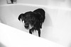 (Sarah Nieves) Tags: dog pet cute wet shower bath wetdog dogbath sofreshandclean blackey porject365