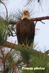 Bald Eagle (dianat03) Tags: bird birds eagle florida baldeagle americanbaldeagle beautifulbirds freenature floridaoutdoors