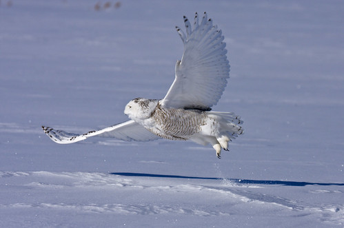 Pictures Of Owls In Flight. Snowy owl in flight - Harfang
