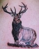 scottish stag done by john