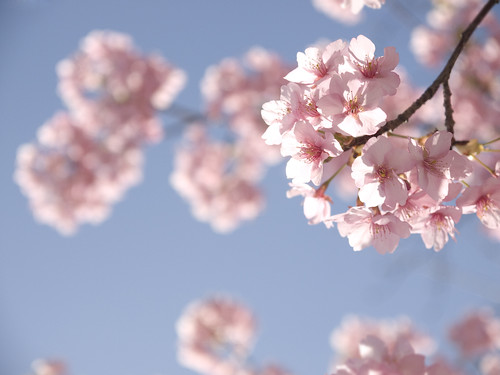 sakura : cherry blossoms