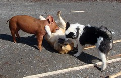 Hog Heaven (LisaNH) Tags: heritage pig outdoor farm sheepdog nh slowfood piglet hog minerva humane icelandic tamworth mbd pastured grassfed albc mackhillfarm fiveflickrfavs humanelyraised growfood arkoftaste bjarki2bd