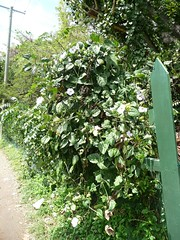 Thundbergia Tortola