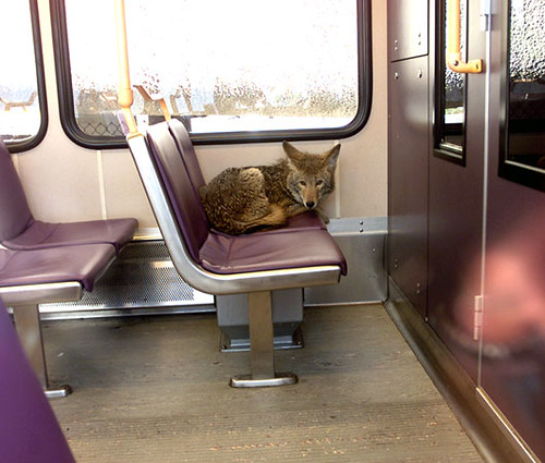 Coyote Rides The Bus