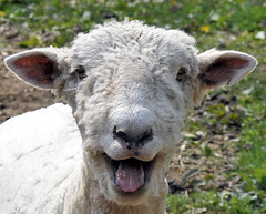 Happy Sheep (Bob Jagendorf) Tags: park newjersey farm nj holmdel 85mmf18 jagendorf