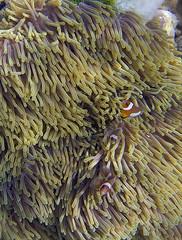 Nemo (elosoenpersona) Tags: park fish pez coral fauna thailand underwater snorkel nemo wildlife clown tailandia snorkeling anemone national ko payaso anemona submarino tarutao adang elosoenpersona