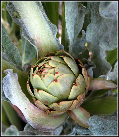 First artichoke copy