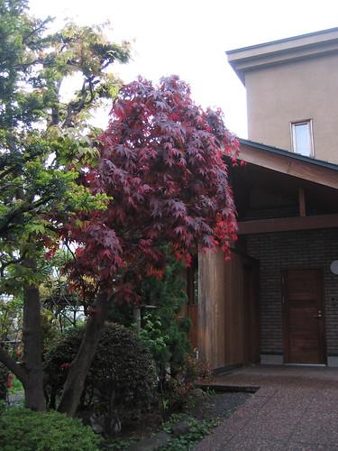 春天的紅葉