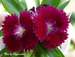Dianthus (chippewabear) Tags: flowers gardens purple blossoms indiana buds dianthus blooms burgandy perennial thepoweroftheflower