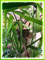 Nest of Pycnonotus goiavier (Yellow-vented Bulbul), resting on our Lady Palm