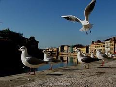 Gabbiano comune (studiolof) Tags: pisa toscana reportage gabbianocomune rosarioloforti fotoloforti
