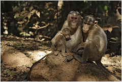 family, matheran (nevil zaveri) Tags: travel family portrait india tourism nature station animals forest photography monkey blog woods photographer photos wildlife hill stock images relationship photographs photograph jungle western monkeys maharashtra wilderness zaveri hillstation matheran stockimages ghats travelogue nevil nevilzaveri