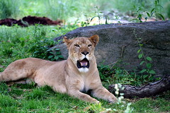 Lioness (DP|Photography) Tags: park city trip travel flowers trees winter light sunset sea summer vacation sky people urban usa baby india house lake holiday snow canada black mountains color macro tree cute bird art nature animals rock fauna architecture kids night clouds canon garden landscape island photography zoo photo spring tour photos bronxzoo orissa canonef70200mmf40lusm debasis ef70200mmf40l debasish debashish debashispradhan dpphotography odisha canon70200mmf4lusmnonis canonef70200mmf40lnonis dp|photography