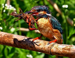 Guarda-rios - fmea/ European Kingfisher - female (Alcedo atthis) (Rosa Gamboias/ on vacation) Tags: bird portugal birds pssaro aves ave pssaros bidos alcedoatthis guardarios abigfave anawesomeshot europeankingfisher