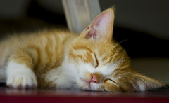 Sleepy Kitty (Domain Barnyard) Tags: sleeping pet june cat kitten feline lasvegas sleep nevada kitty gato tired napping resting awww 2008 f28 sleepingcats 200mm tingey domainbarnyard twtme kittenmagazine kissablekats bestofcats kittyschoice envyofflickr canoneos40d onephotoweeklycontest
