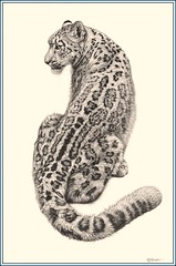 'Cat in the Cool' - Snow Leopard - Fine Art Pencil Drawings  www.drawntonature.co.uk (kjhayler) Tags: pictures blackandwhite cats mountain snow art cat print cub landscapes sketch skins artist natural image drawing wildlife picture illustrations drawings images naturalhistory study leopard bigcat charcoal posters leopardprint prints spotted panthers jaguar sketches panther printed bigcats snowleopard leopardskin predators wildcats wildanimals leopards ounce snowleopards snowleapard spottedcats snowleapord snowlepoard snowanimals snowleapords snowlepord thesnowleopard snowleopardpictures snowleopardhabitat picturesofsnowleopards snowleopardendangered snowleopardshabitat endangeredsnowleopards picturesofleopards snowlepords endangeredleopards snowleoperd picturesleopards snowleperd leopardsanimals animalleopards pictureofleopards asianleopards endangeredspeciesleopards