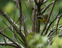 A Male Yellow-throat (rivadock4) Tags: cookcounty willowsprings hardrain palosforestpreserve