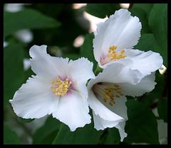 Philadelphus 'Belle Etoile' (kcm76) Tags: flowers plants gardens olympus ealing 76 greenford e500 cixpix coolestphotographers