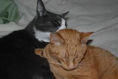 Kitty Cuddlefest (Stef Noble) Tags: brando cheddar