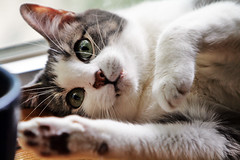 And of course, my own cat (kirstiecat) Tags: pet cat feline chat gato buckley buckula seehislittlefangs helookslikeavampire buckleyisnamedaftertimandjeffbuckley