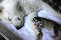Day 2. (Pixel Spit) Tags: dogs puppy puppies sled kennel eskimo alaskan malamutes greymoon