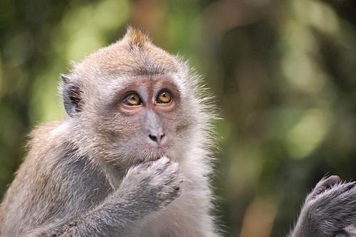 "Monkey - ""Ops, I did it again!"""